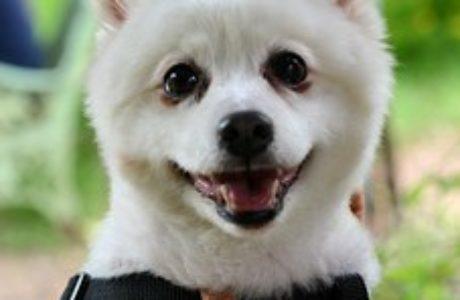 גור פומרניאן- לאנשים סבלנים שאוהבים כלבים חכמים ויפים